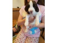 Springer spaniel puppies kc reg RYTEX bloodlines
