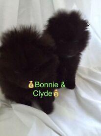 Miniature black Pomeranian puppies