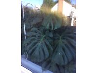 Lush GIANT Monstera deliciosa Swiss cheese house plant LARGE 47 cm pot