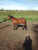 2 year old Half Friesan filly for sale