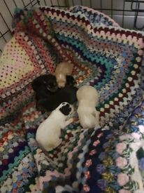 chihuahua x yorkshire terrier pups