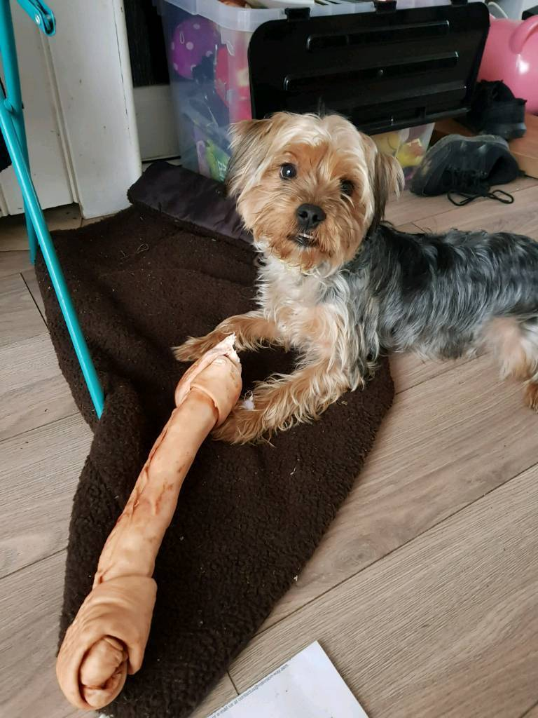 1 year old Yorkshire Terrier | in Dundee | Gumtree