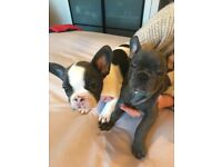 Blue pied French bulldog girl puppy