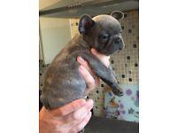 French Bulldog pups. Exceptional litter of blue blue tan blue fawn excellent bloodline kc reg etc