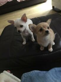 Chihuahua pups 1 bitch left ready to go to forever home it's the short haired white one