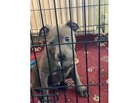 Beautiful blue Staffordshire bull terrier puppy