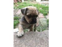 Jugs, Pug / Jack Russell cross Puppies