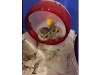 2 robo dwarf hamsters