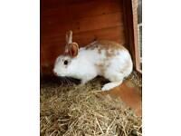 Rabbit with indoor cage