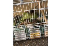 4 young finches for sale