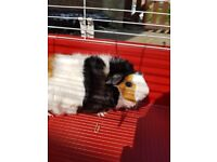 2 Seperated Male Guinea Pigs 8 months old need a loving and caring home