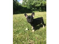 Stunning French bulldogs for sale