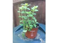 Oregano herb plants