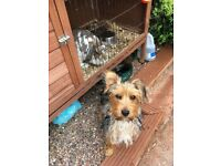 One year old Yorkshire Terrier puppy, house trained,excellent with small children and babies