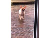 Beautiful tiny male chihuahua puppy