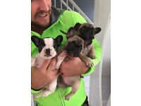 FRENCH bulldog puppies ***** Quality (BOTH needles)
