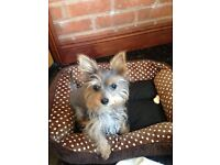Gorgeous miniture yorkie for sale, through no fault of his own