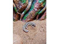 Pictus gecko and terrarium