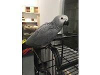 African grey baby