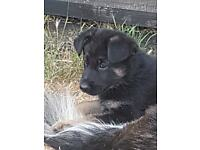Male german shepherd black amd tan