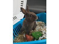 Male dwarf netherland rabbit for sale