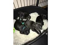 Kc reg black pug puppies available now