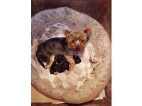 Mini yorkie x jack russell pups
