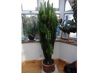 Large 6ft 4 Succulent Plant (Euphorbia trigona)