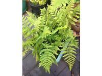 Hardy giant outdoor fern plants