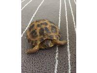 Tortoise for sale £59
