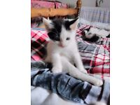 Maine Coon Cats Amp Kittens For Sale Gumtree