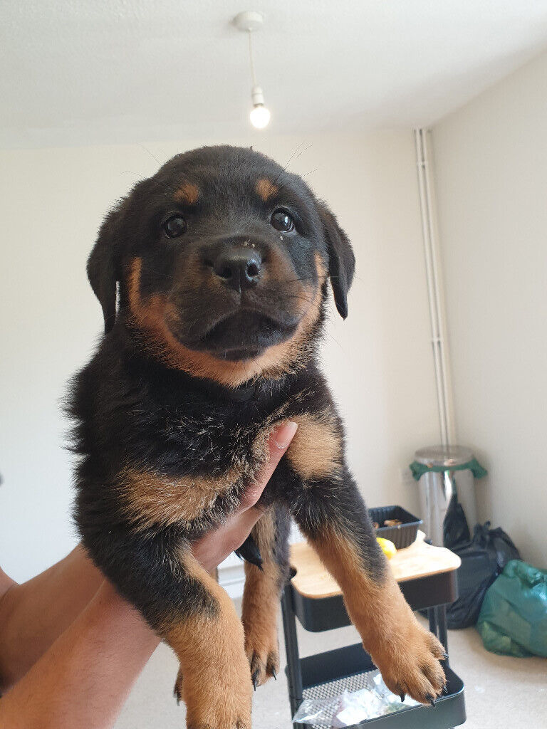 my rottweiler puppy 8 weeks old ready now   in Sandwell ...