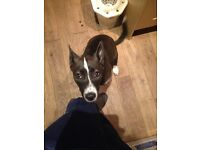 Tykanni 6month old husky/ staffie