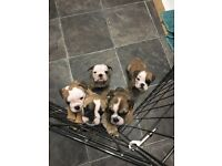 Stunning KC Registered Bulldog Puppies (2 left)