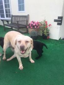 Lovely Labrador puppy's