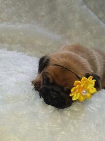 Beautiful home breed 3/4 pugs