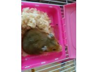 2 hamsters come with cage and bits both boys 1 for £15 and cage or both for 25