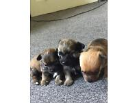 3 long haired chihuahua puppies