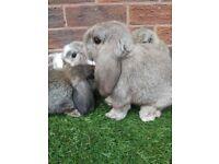 Mini lops (pedigree)
