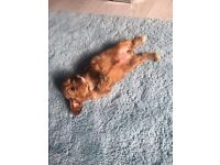 Gorgeous toy cavapoo girl. Fox red