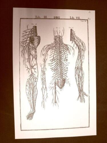 Diramazione dei nervi Tavola anatomica Litografia Giulio C.Casseri 1627 Ristampa