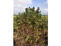 Raspberry canes,