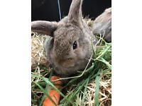 2. X. Lop eared rabbits