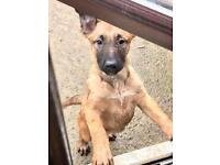 Female Belgian Malinois Shepherd puppy