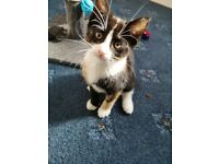 Calico and Black kittens looking for new forever home. Ready Now
