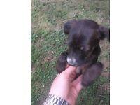 Bullmastiff X Labrador