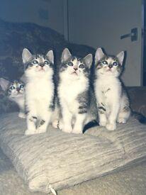 Four part bengal kittens
