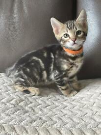 Stunning Bengal kittens READY NOW boys