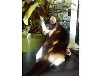 Devon rex cross female kitten