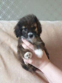 Cairn cross poodle pups